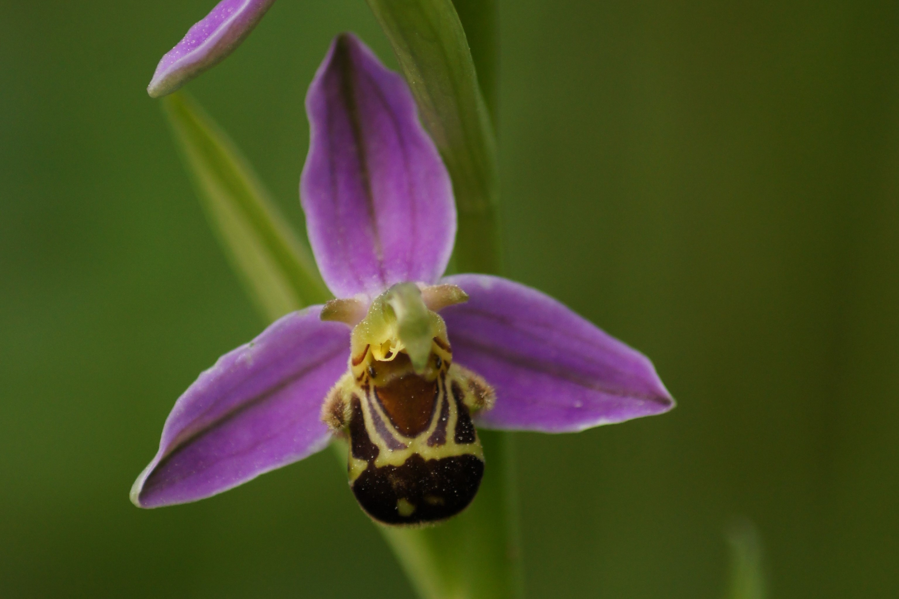 Inventaire Flore - Ophrys abeille